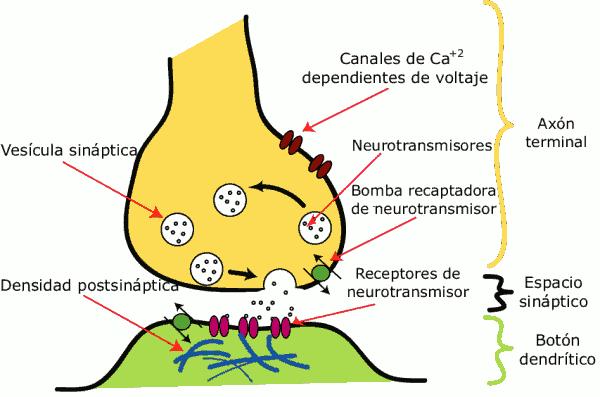 Resultado de imagen de sinapsis